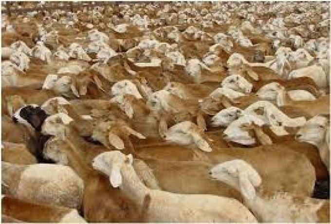 (غلاء فاحش) ..صادرات الخراف الي السعودية هذا العام لن تتجاوز 15%