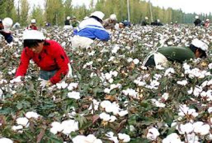 زراعة 95 ألف فدان بالقطن المحور وراثياً بالجزيرة