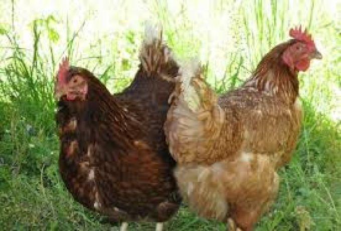 إعتقال شاب إعتدي جنسياً علي دجاجة