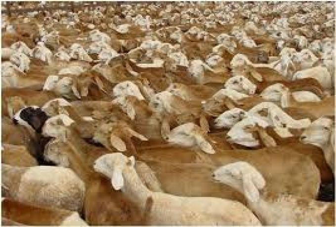 السودان .. تصدير أكثر من 31 مليون رأس ماشية خلال 8 سنوات
