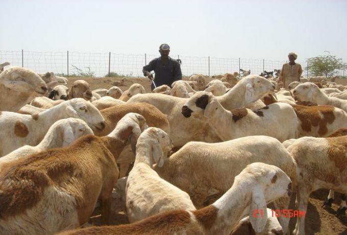 بعد معالجة مشكلات روتينية ..السودان يصدر 47 رأساً من الماشية للسعودية