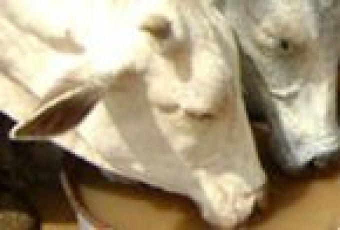 """نفوق أكثر من (100) رأس من الماشية بسبب مرض """"حمى الساحل الشرقي"""""""