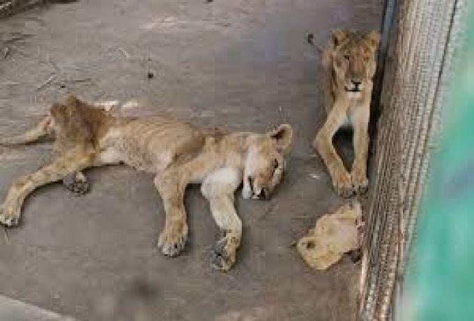 السوداني الدولية: الحياة البرية: سحب ترخيص حديقة القرشي تحت الدراسة