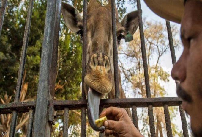 وفاة ذكر زراف في حديقة الحيوان بالجيزة.. تشكيل لجنة تحقيق