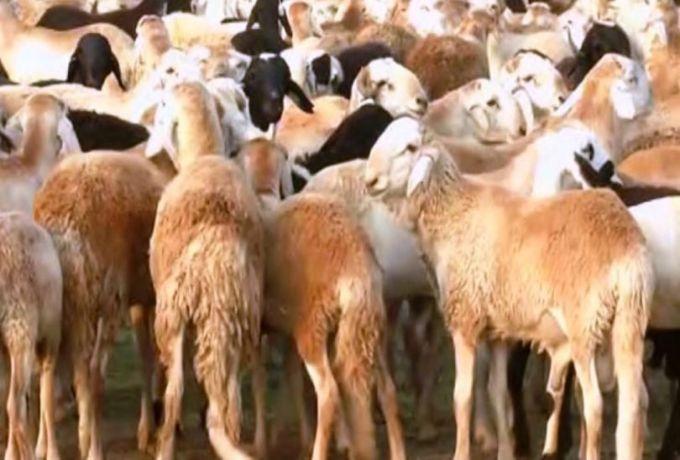 شُعبة مُصدري اللحوم: (35) ألف جنيه أقل سعر للأضحية
